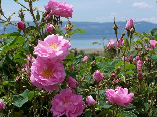 Роза болгарии в болгарии